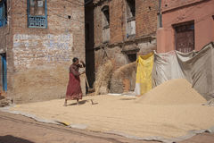 Woman threshing grain Stock Photography