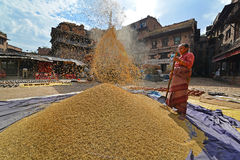Woman threshing grain in traditional way in Nepal Royalty Free Stock Photo