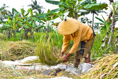 Woman threshing rice in paddy field Royalty Free Stock Image