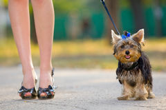 Woman with tiny terrier Royalty Free Stock Images