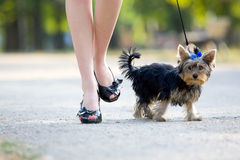 Woman with tiny terrier Royalty Free Stock Photography