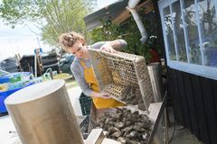 Woman tipping oysters out basket Royalty Free Stock Images