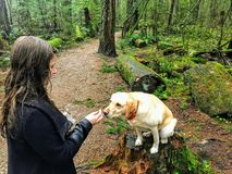A woman about to feed her pet yellow lab a dog treat while walking in pacific spirit regional park. Vancouver, Canada. royalty free stock photo