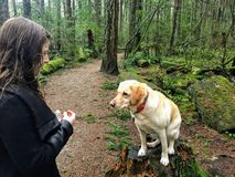 A woman about to feed her pet yellow lab a dog treat while walking in pacific spirit regional park. Vancouver, Canada. The dog is salivating with excitement royalty free stock photography