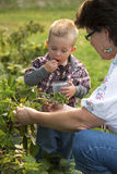 Woman and toddler picking berries. Grandmother and grandchild picking berries in a backyard garden stock photography