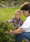 Woman and toddler picking berries. Grandmother and grandchild picking berries in a backyard garden royalty free stock photography