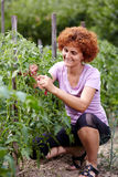 Woman in tomato garden Stock Photo