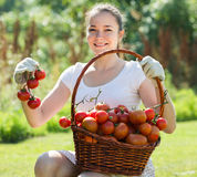 Woman with tomato harvest in garden Royalty Free Stock Photo