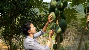 Woman touching big green papaya fruit in the garden. Green papaya is used in Southeast Asian cooking, both raw and cooked stock video
