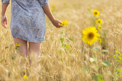 Woman touching sun flower on a field of wheat Royalty Free Stock Photos