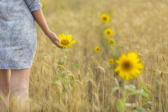 Woman touching sun flower on a field of wheat Stock Image