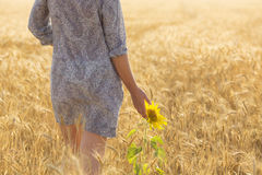 Woman touching sun flower on a field of wheat Stock Images