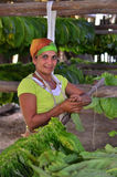 The woman touching tobacco leaves for production of the Cuban cigars Royalty Free Stock Images