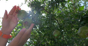 Woman touching unripe pomegranates on the tree. Close-up shot of female hand touching green fruit of pomegranate on the tree, bright sun flare appearing as she stock footage