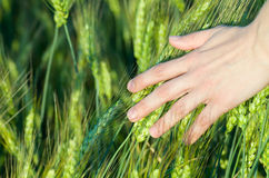 Woman Touching Wheat Ears Stock Photos