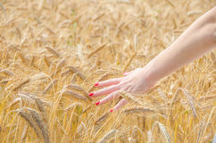 A woman touching wheat Stock Images
