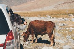 A woman tourist taking a photo of a brown cow while sitting in the car with mountain and nature stock images
