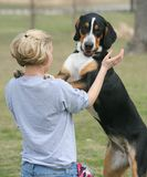 Woman Training Dog. Young woman training her Swiss Mountain Dog in the park. This dog will be about 105 lbs when full-grown Royalty Free Stock Image