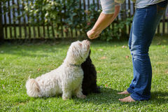 Woman training two havanese dogs in the garden Royalty Free Stock Photos