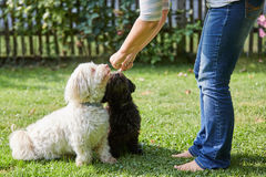 Woman training two havanese dogs in the garden Royalty Free Stock Photo