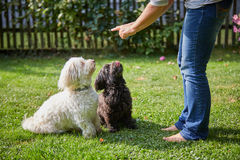 Woman training two havanese dogs in the garden Stock Images