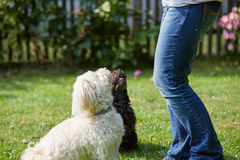 Woman training two havanese dogs in the garden Stock Photo