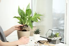 Woman transplanting home plant into new pot on window sill. Closeup stock images