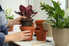 Woman transplanting home plant into new pot on window sill. Closeup stock photos