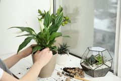 Woman transplanting home plant into new pot on window sill. Closeup stock image