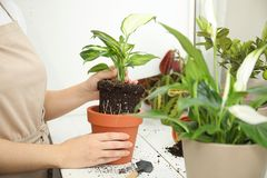 Woman transplanting home plant into new pot on window sill. Closeup royalty free stock photos