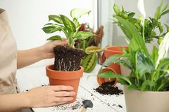 Woman transplanting home plant into new pot on window sill. Closeup royalty free stock photo