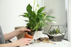 Woman transplanting home plant into new pot on window sill. Closeup stock photography