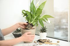 Woman transplanting home plant into new pot on window sill. Closeup royalty free stock images