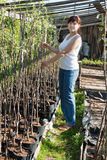 Woman with trees seedlings Royalty Free Stock Photo