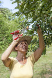 Woman trimming the apple tree Stock Images