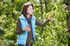 Woman Trimming trees in the orchard Royalty Free Stock Image
