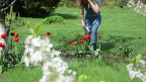 Woman tulip flower garden. Woman in blue clothes cut red tulips in spring garden surrounded by blooming fruit apple trees stock video footage
