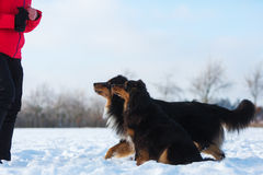 Woman with two dogs in the snow. Woman with two Australian Shepherd dogs in the snow Stock Photo