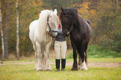 Woman with two shire horses. Woman having fun with two shire horses Royalty Free Stock Images