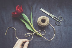 Woman tying one red tulip with twine Royalty Free Stock Images