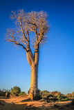 Woman under baobab. Malagasy woman walking on a path under giant baobab tree Royalty Free Stock Images