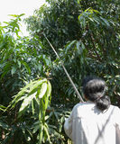 Woman use long handled fruit picker to pick mangos in orchard Royalty Free Stock Photo