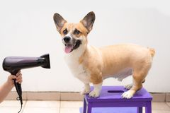 Woman using the hair dry drying wet dog.  Stock Image