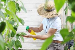 Woman in vegetable garden sprays pesticide on leaf of plant, car. E of plants for growth concept stock photos