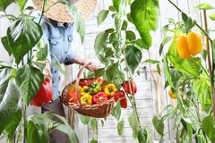 Woman in vegetable garden with wicker basket picking colored sweet peppers from lush green plants, growth, harvest concept. Woman in vegetable garden with wicker royalty free stock photos