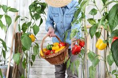 Woman in vegetable garden with wicker basket picking colored sweet peppers from lush green plants, growth harvest concept. Woman in vegetable garden with wicker royalty free stock image