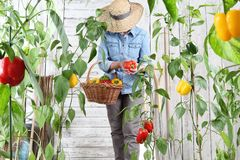 Woman in vegetable garden with wicker basket picking colored sweet peppers from lush green plants, growth harvest concept. Woman in vegetable garden with wicker stock photos