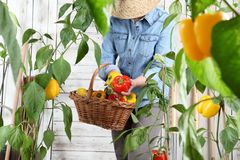 Woman in vegetable garden with wicker basket picking colored sweet peppers from lush green plants, growth harvest concept. Woman in vegetable garden with wicker stock images