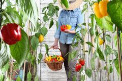 Woman in vegetable garden with wicker basket picking colored sweet peppers from lush green plants, growth harvest concept. Woman in vegetable garden with wicker royalty free stock photos