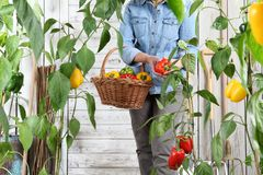 Woman in vegetable garden with wicker basket picking colored sweet peppers from lush green plants, growth harvest concept. Woman in vegetable garden with wicker royalty free stock photography